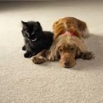 химчистка ковров после животных